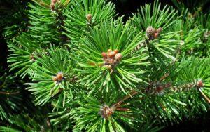 mountain-pine-3575200_1920